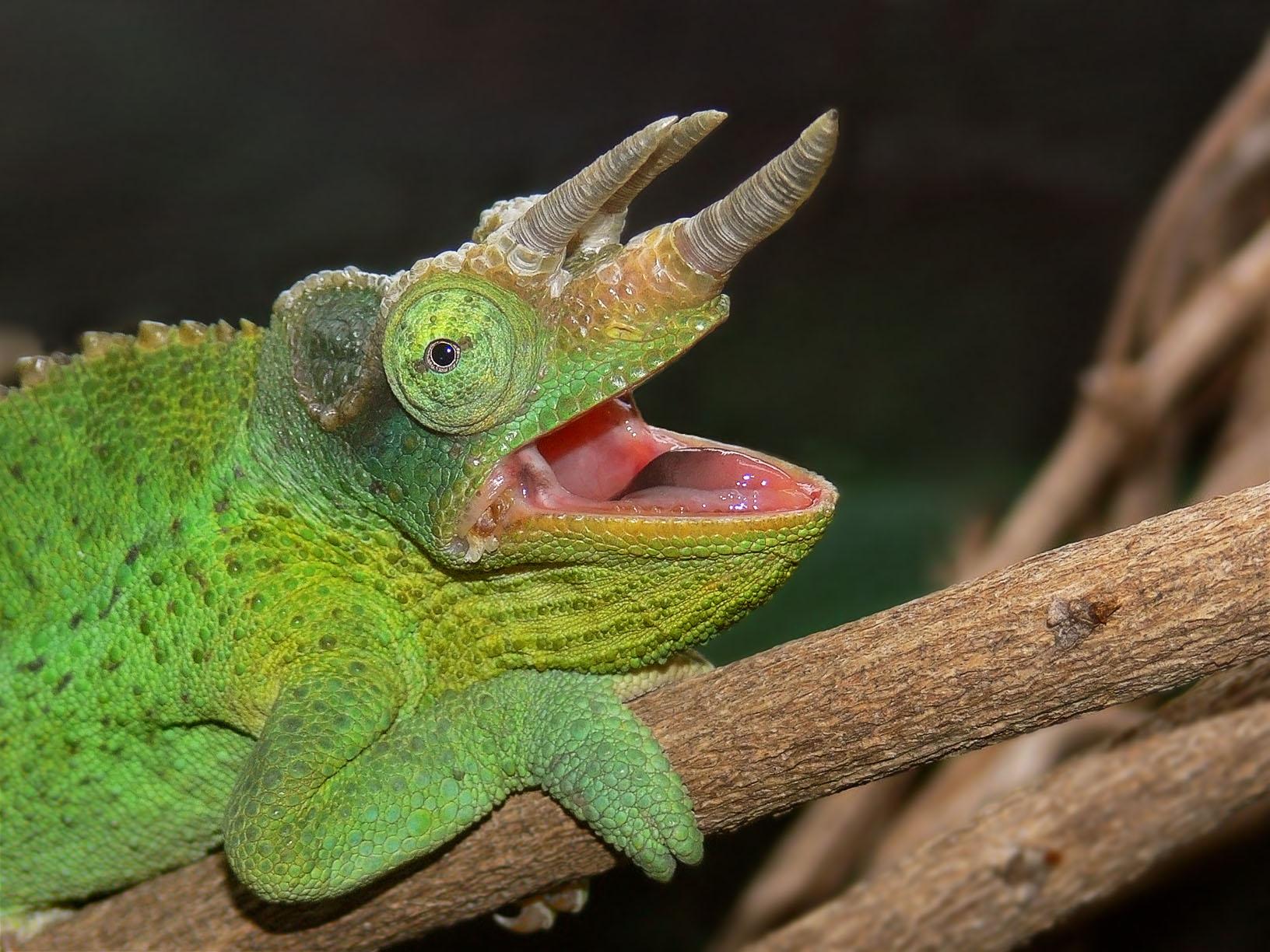yawning-jacksons-chameleon